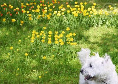 Yellow Tulips with Dog